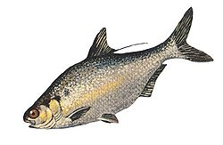 Gizzard Shad fish