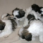 puppies for sale 013