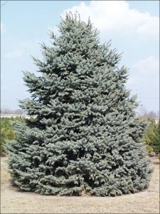 A Blue Spruce Christmas Tree (Photo from ISU Extension)